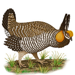 Greater Prairie-Chicken Body