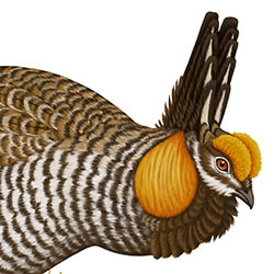 Greater Prairie-Chicken Head Illustration