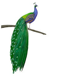 Indian Peafowl Body Illustration