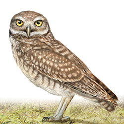 Burrowing Owl Body Illustration.jpg