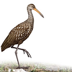 Limpkin Body Illustration.jpg