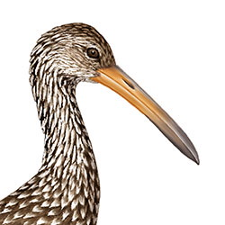 Limpkin Head Illustration.jpg