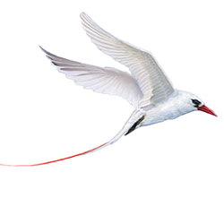 Red-tailed Tropicbird Flight Illustration