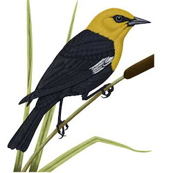 Yellow-headed Blackbird Body Illustration