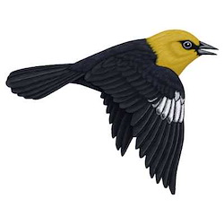 Yellow-headed Blackbird Flight Illustration
