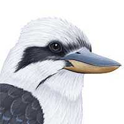 Laughing Kookaburra Head Illustration