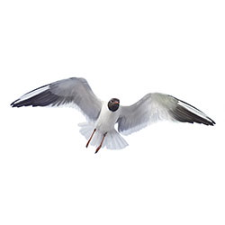 Black-headed Gull Flight Illustration