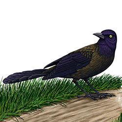 Common Grackle Body Illustration