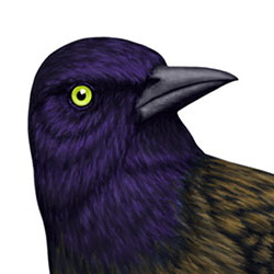Common Grackle Head Illustration