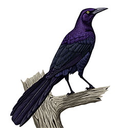 Great-tailed Grackle Body Illustration