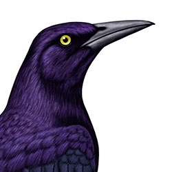 Great-tailed Grackle Head Illustration