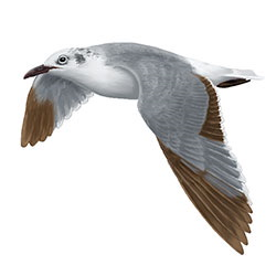 Laughing Gull Flight Illustration.jpg