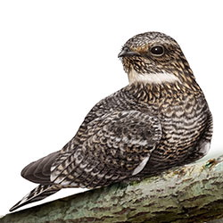Lesser Nighthawk Body Illustration.jpg