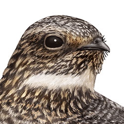 Lesser Nighthawk Head Illustration.jpg