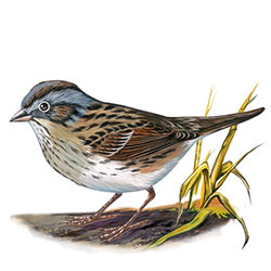 Lincoln's Sparrow Body Illustration