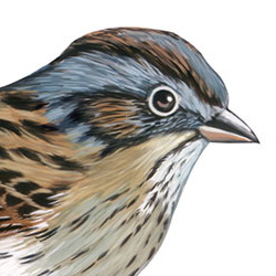 Lincoln's Sparrow Head Illustration