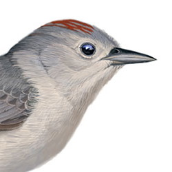 Lucy's Warbler Head Illustration