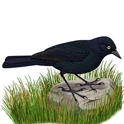 Rusty Blackbird Body Illustration