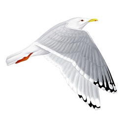 Thayer's Gull Flight Illustration