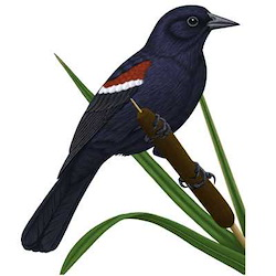 Tricolored Blackbird Body Illustration