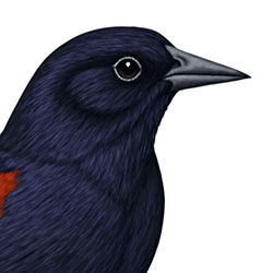 Tricolored Blackbird Head Illustration