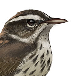 Louisiana Waterthrush Head Illustration.jpg
