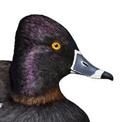 Ring-necked Duck Head Illustration.jpg