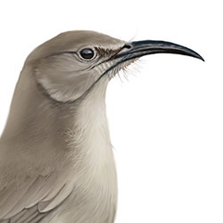 LeConte's Thrasher Head Illustration.jpg