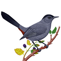 Gray Catbird Body Illustration