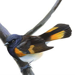 American Redstart Body Illustration