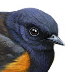 American Redstart Head Illustration