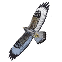 Rough-legged Hawk Flight Illustration