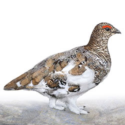 White-tailed Ptarmigan Winter Male Body Illustration