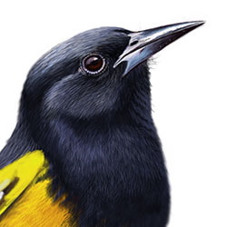Scott's Oriole Head Illustration