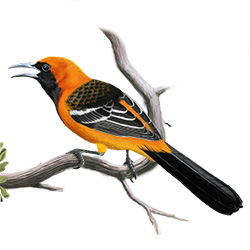 Hooded Oriole Body Illustration