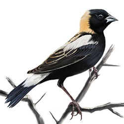 Bobolink Body Illustration