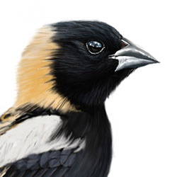 Bobolink Head Illustration