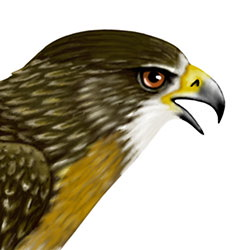 Red-tailed Hawk Head Illustration
