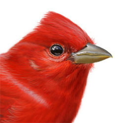 Summer Tanager Head Illustration