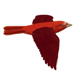 Summer Tanager Flight Illustration