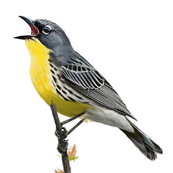 Kirtland's Warbler Body Illustration.jpg
