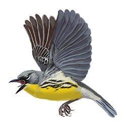 Kirtland's Warbler Flight Illustration.jpg
