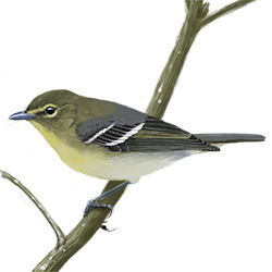 Yellow-throated Vireo Body Illustration