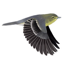 Yellow-throated Vireo Flight Illustration