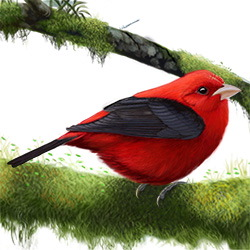 Scarlet Tanager Body Illustration
