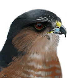 Sharp-shinned Hawk Head Illustration