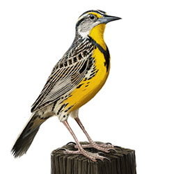 Eastern Meadowlark Body Illustration