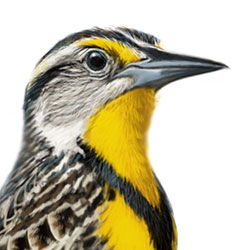 Eastern Meadowlark Head Illustration
