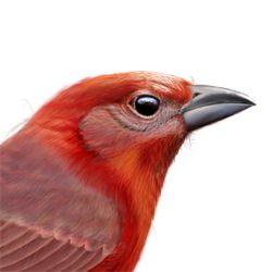 Hepatic Tanager Head Illustration