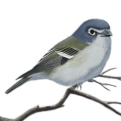 Blue-headed Vireo Body Illustration